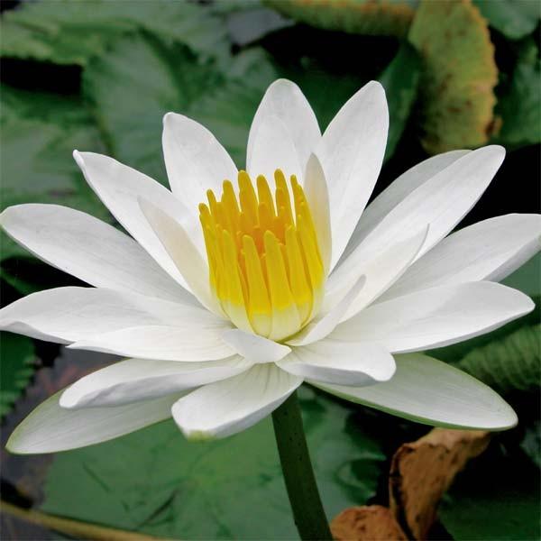 Night blooming water lilies tropical water lilies nymphaea juno white flowering night bloomer mightylinksfo