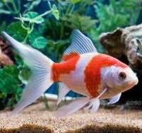 Sarasa Comets - Goldfish - Various