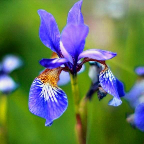 blue iris iris. Black Bedroom Furniture Sets. Home Design Ideas