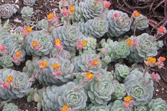 Echeveria Succulent Plants